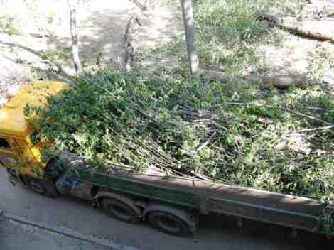 деревья вывозили несколько дней