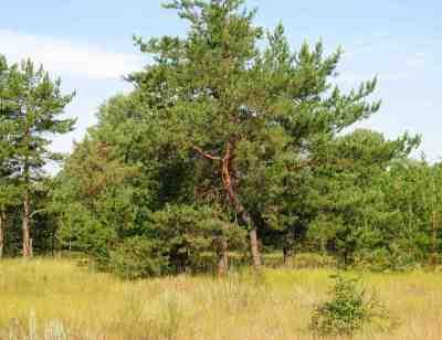 деревья Поджабного