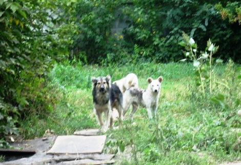 стаи собак